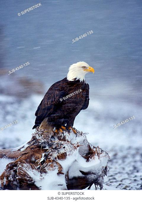 Bald Eagle in a Snowstorm