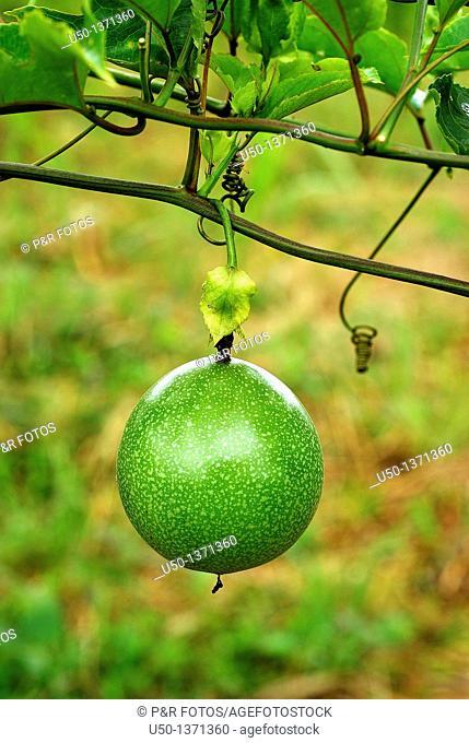 Passion fruit, Passiflora edulis, Passifloraceae, Acre, 2009
