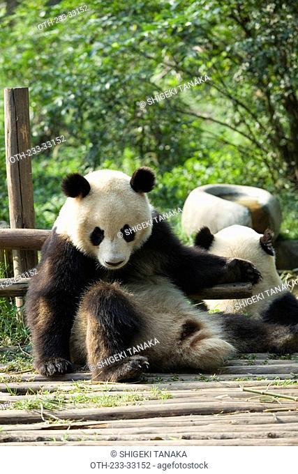Giant Panda, Chengdu Panda breeding and reseach center, Chengdu, China