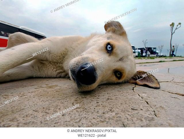 Dog with different colored eyes, Antalya, Turkey, Western Asia