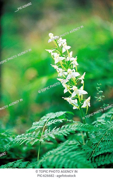 Wild FlowerPlatanthera