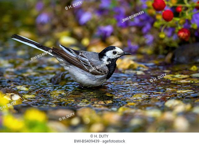 Pied wagtail, Pied white wagtail (Motacilla alba), bathing, Germany, Mecklenburg-Western Pomerania