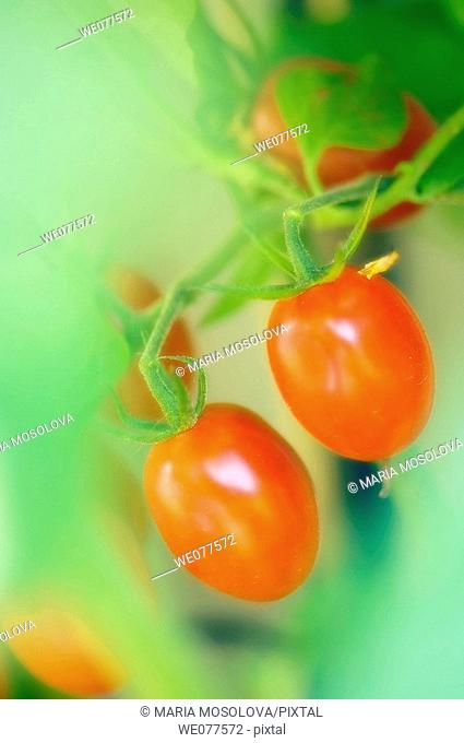 Two Red Cherry Tomatoes. Solanum lycopersicon. July 2007, Maryland, USA