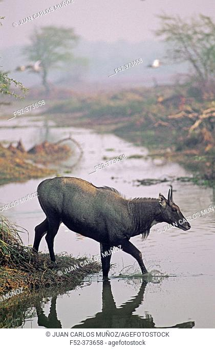 Nilgai (Boselaphus tragocamelus). Keoladeo National Park. India
