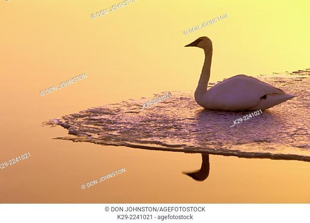 Trumpeter swan (Cygnus buccinator), Greater Sudbury, Ontario, Canada