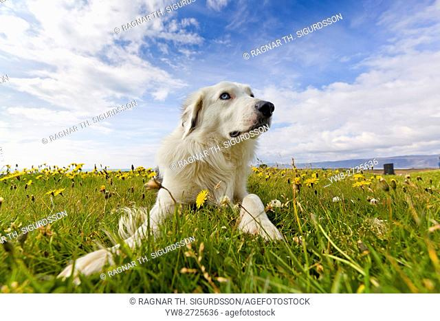 Labrador in a field, summetime, Iceland
