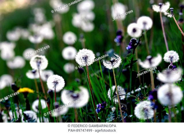 Dandelions in a field in Cologne, Germany, 9 April 2017. Photo: Federico Gambarini/dpa | usage worldwide. - Cologne/North Rhine-Westphalia/Germany