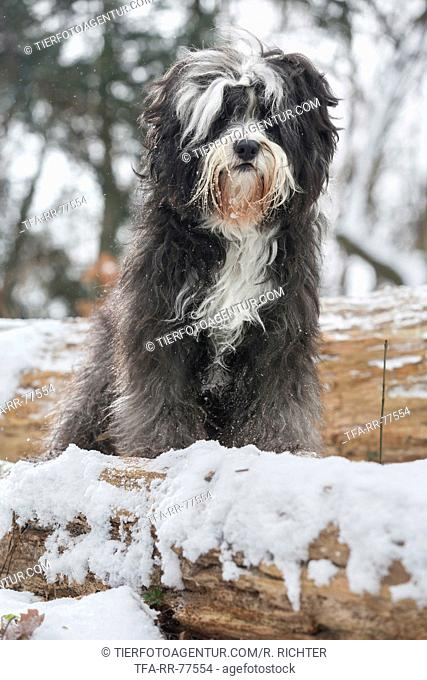 Tibetan Terrier in snow