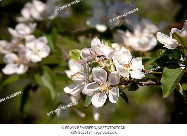 Apple Blossoms. Thurmont Maryland USA
