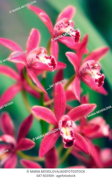 Cymbidium orchid in Bloom. Maryland, USA