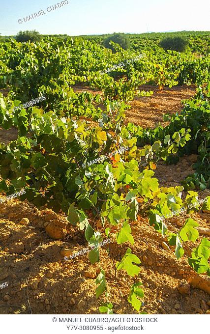 Vineyards. Bodega Dagón, D.O. Utiel-Requena, Western Valencia Province, Valencian Community, Spain