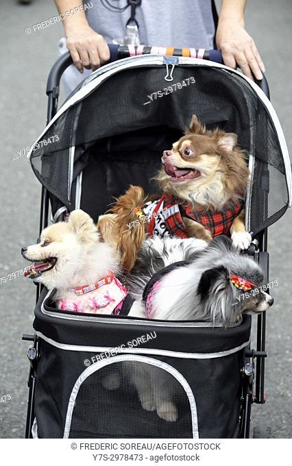 Poodles in a dog stroller,Takayama,Gifu Prefecture,Japan,Asia