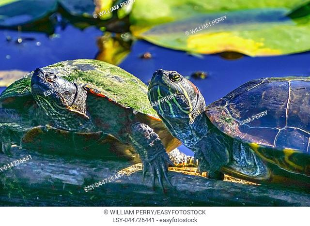 Western Painted Turtle Chrysemys picta Green Lily Pads Juanita Bay Park Lake Washington Kirkland Washiington