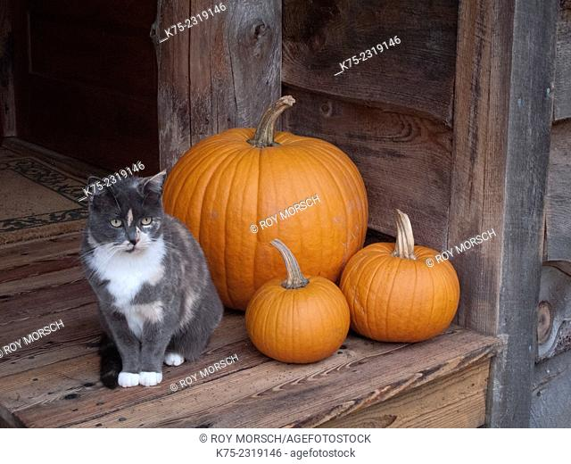 cat sitting next to three pumpkins on porch