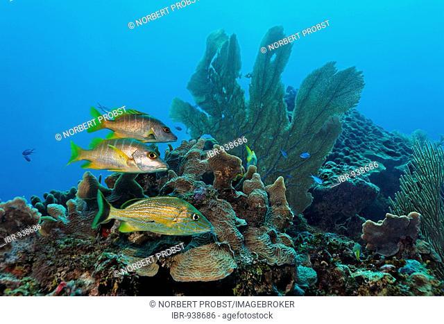 Bluestriped Grunt fish (Haemulon sciurus) and two Schoolmaster Snapper fish (Lutjanus apodus) swimming in a coral reef, barrier reef, San Pedro