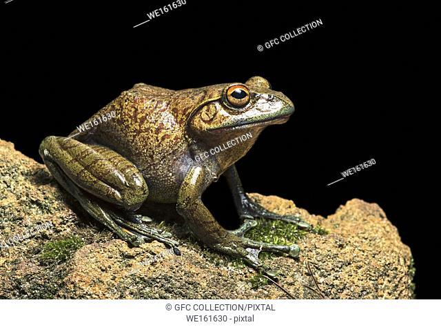 Endemic frog species Boophis goudoti, Mantellidae family, Anjozorobe National Park, Madagascar