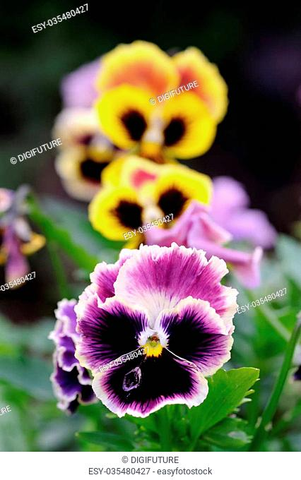 Beautiful multicolored pansy violet (Viola tricolor) flowers growing on a flower bed