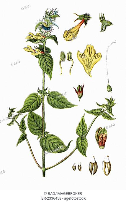 Wood Cow-wheat (Melampyrum nemorosum), medicinal plant, historical chromolithography, ca. 1796