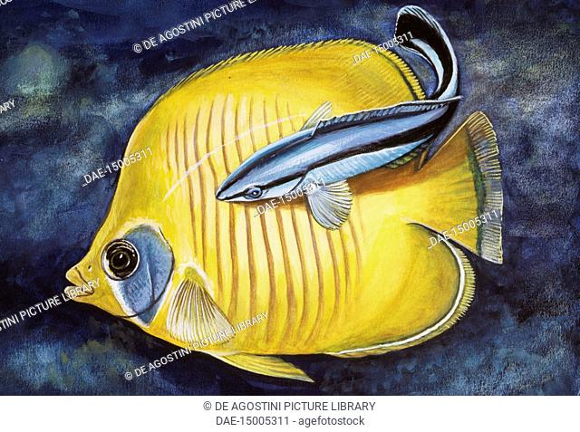 Bluestreak cleaner Wrasse (Labroides dimidiatus), Labridae, drawing