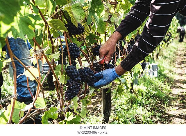 Man standing in a vineyard, harvesting bunches of black grapes