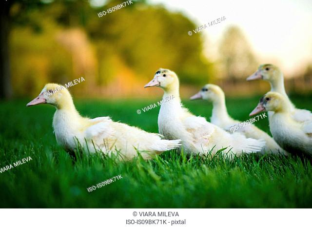 Ducklings waddling in green grassy field