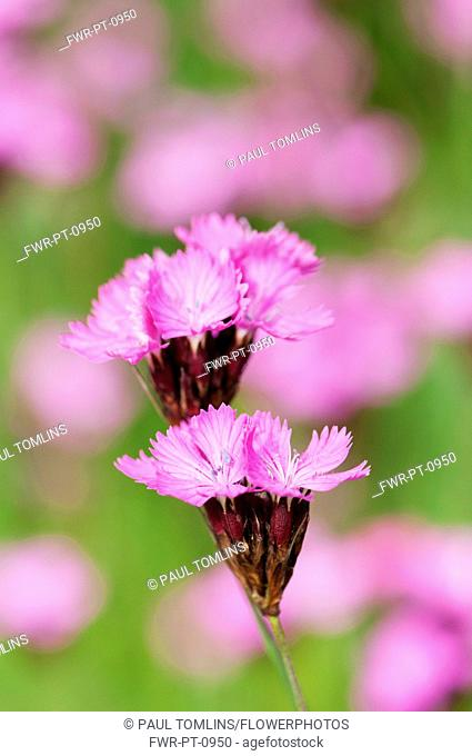 Carthusian pink, Dianthus carthusianorum, close up of flowers