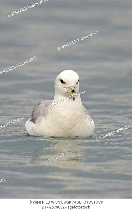 Fulmar (Fulmarus glacialis) swimming on the ocean in rain. North Coast of Snaefellsnes. Iceland