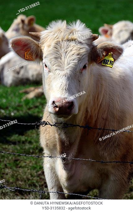 cows of Charolaise race on pasture, Montaiguët-en-Forez, Allier department, Auvergne-Rhône-Alpes region, central France, Europe