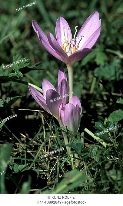 Autumn crocus, Colchicum autumnalis, Liliaceae, flowering, flowers, Ticino, Switzerland, flower