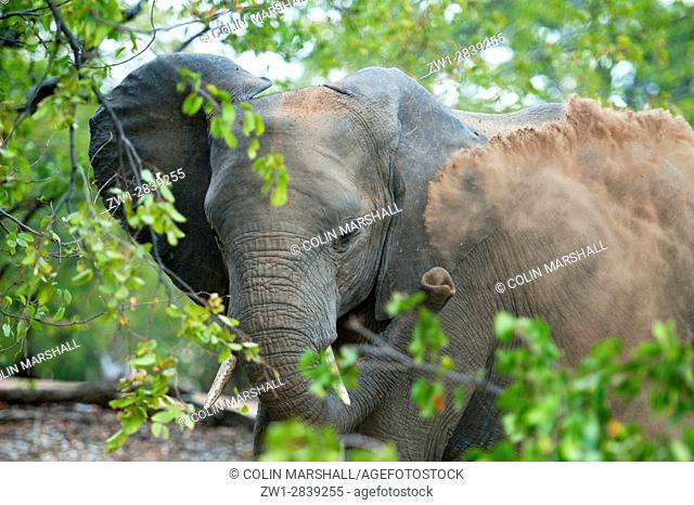 Elephant (Loxodonta africana) blowing dust, Kruger National Park, Transvaal, South Africa