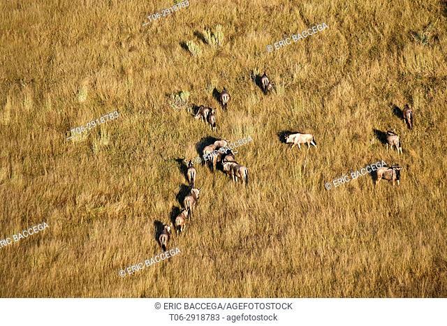 Aerial view of blue wildebeest herd grazing (Connochaetes taurinus), Okavango Delta, Botswana, Africa
