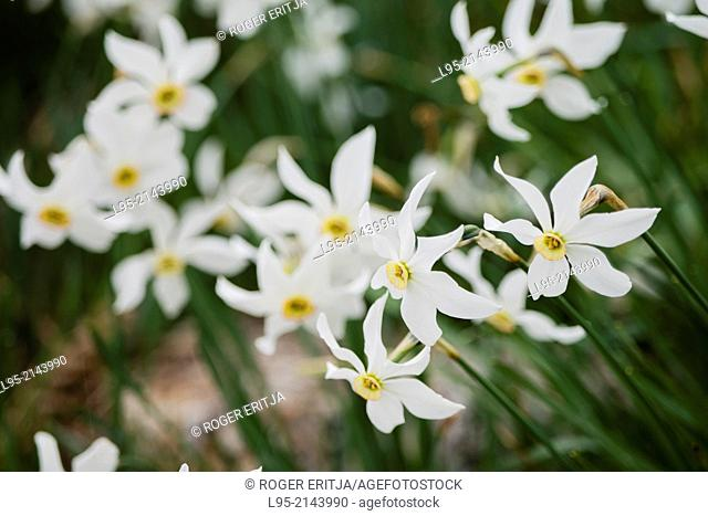 Poet's Daffodil (Narcissus poeticus) makes for large flowered gaps in spring, Montseny, Spain