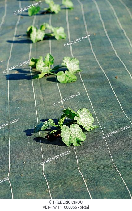 Crops growing through protective fabric