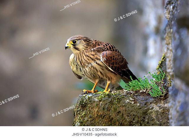 European Kestrel, Common Krestel, (Falco tinnunculus), adult on rock spreads wings, Pelm, Kasselburg, Eifel, Germany, Europe