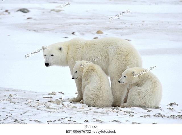 Polar she-bear with cubs. The polar she-bear with two kids on snow-covered coast