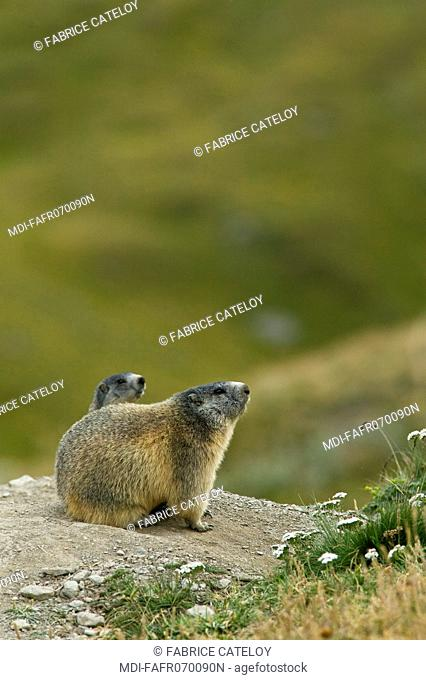 Marmot and its young at the entry of their burrow in the natural regional park of Queyras