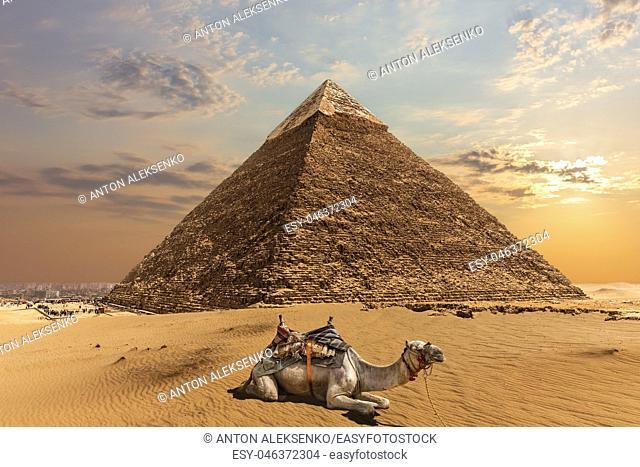 A camel by the Pyramid of Chephren, Giza, Egypt