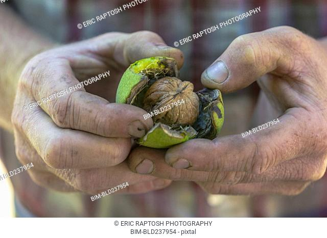 Hands of Caucasian man opening walnut