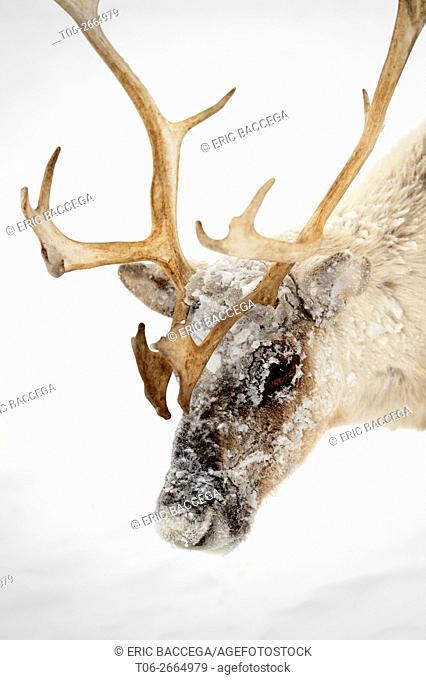 Head portrait of ice covered Reindeer (Rangifer tarandus) during storm, Yar-Sale district, Yamal, Northwest Siberia, Russia