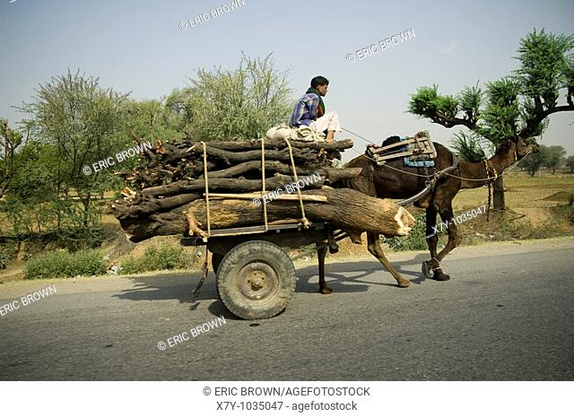 A camel driver transports wood on a road in India
