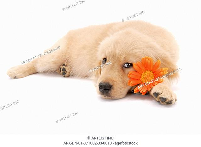 A puppy lying with a flower