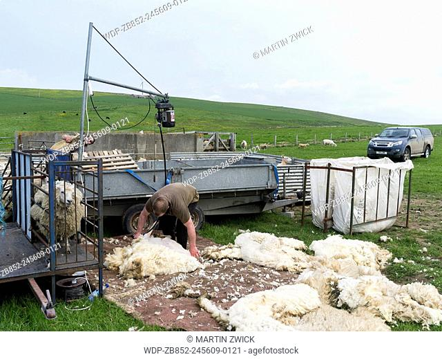 Shetland Sheep on the Orkney Islands. Sheep shearing on a paddock.It is a traditional, hardy breed of the Northern Isles in Scotland