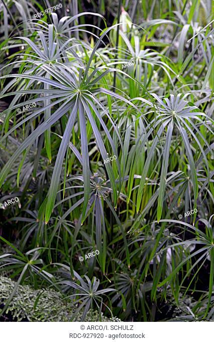 grosses Zpyperngras, Cyperus alternifolius, Afrika