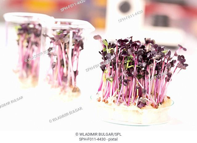 Plants growing in a petri dish in a laboratory