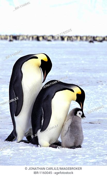 Emperor penguins (Aptenodytes forsteri) with chick, Dawson-Lambton Glacier, Antarctica
