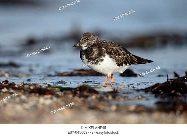 Turnstone, Arenaria interpres, single bird on beach, Gwynedd, Wales November 2016