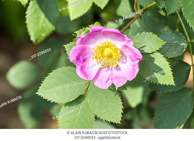 Rosa micrantha 1812