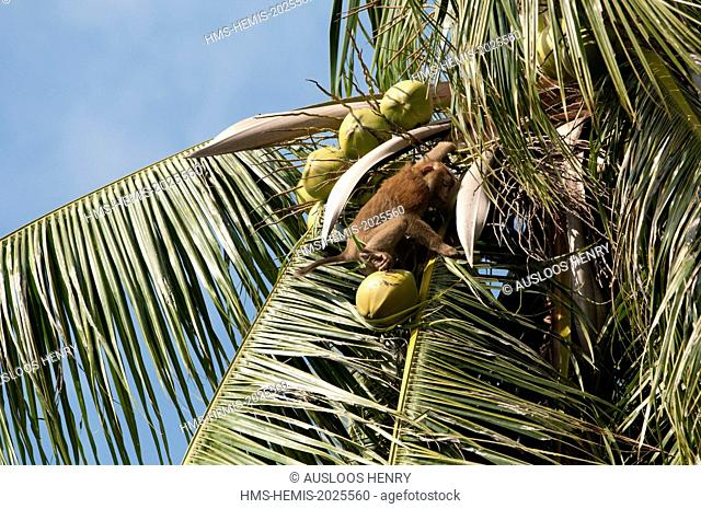 Thailand, Koh Samui, harvest of coconuts with Northern pig-tailed Macaque (Macaca leolina)