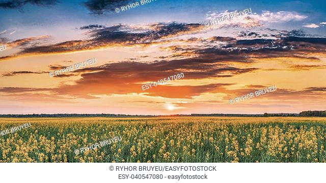 Panorama Sunset Sunrise Sky Over Horizon Of Spring Flowering Canola, Rapeseed, Oilseed Field Meadow Grass. Blossom Of Canola Yellow Flowers Under Dramatic Dawn...