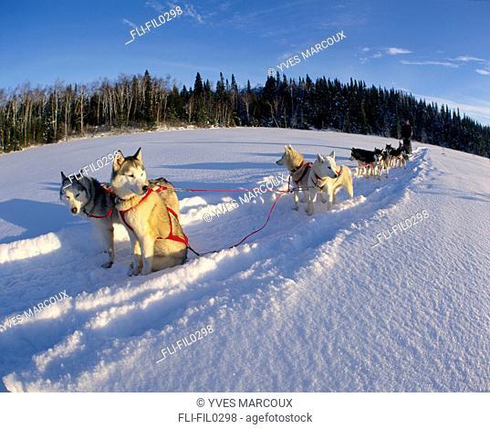 Dog Sledding on Frozen Lake, Lanaudiere County, Entrelacs, Quebec